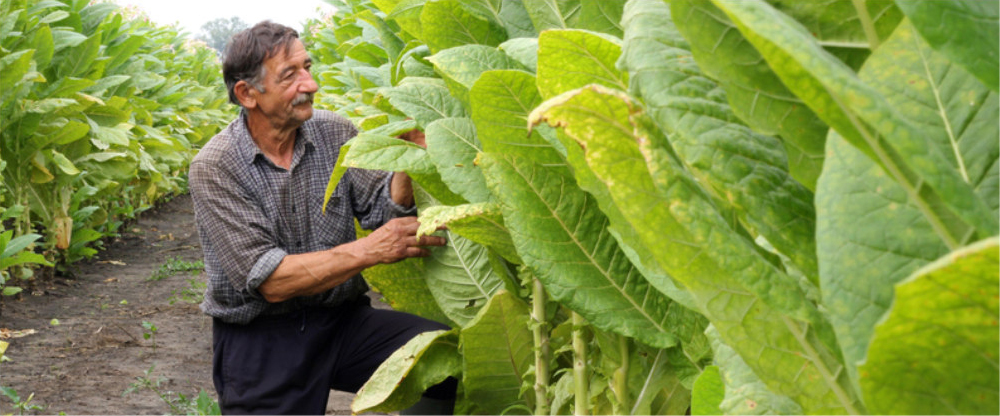 Farming Inspecting Green Tobacco In Field