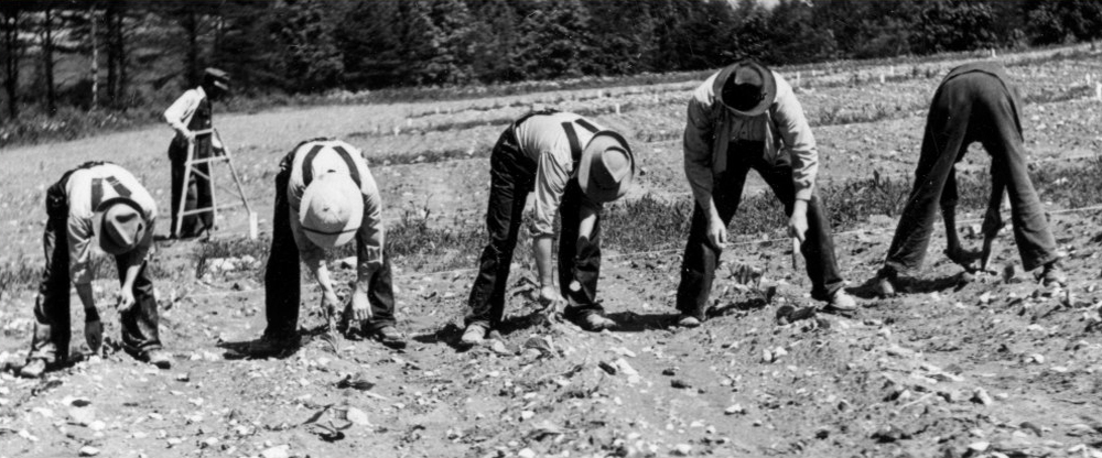 Historic Picture Of People Working In A Tobacco Field